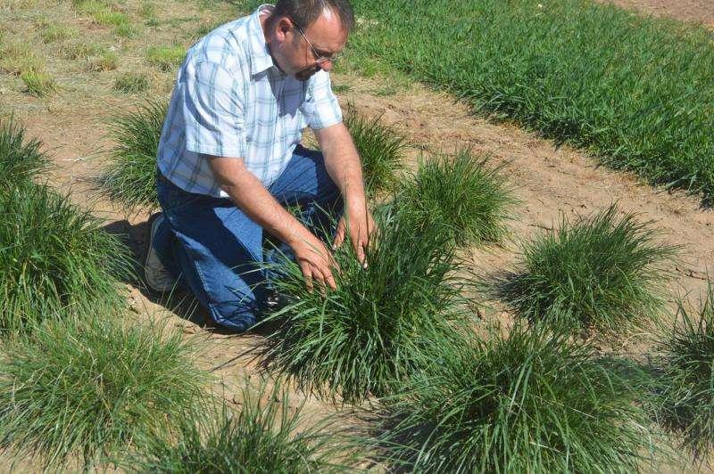 Summer-dormant, cool-season grasses good option for perennial pastures
