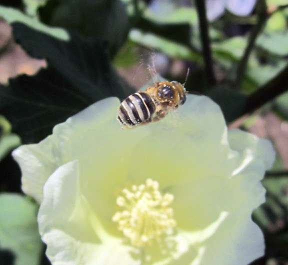 Supporting pollinators could have big payoff for Texas cotton farmers