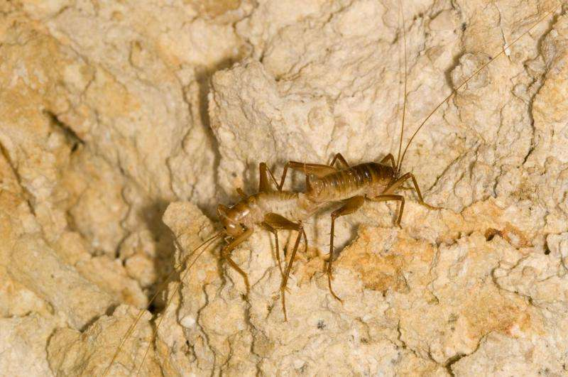 Surface-going cave crickets actually more isolated than cave-dwelling cousins