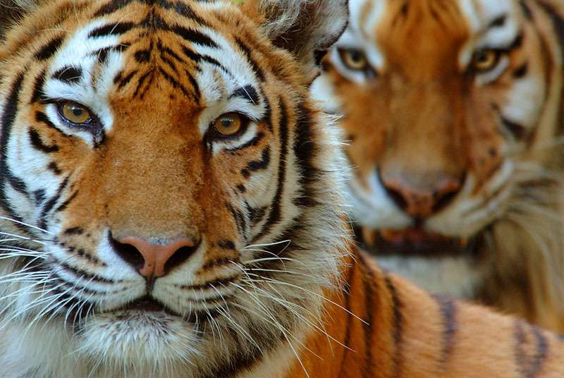 Surge in seizures of captive-bred tigers strengthens call for Asia to close all tiger farms