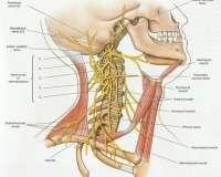 Surgical repair of phrenic nerve injury improves breathing