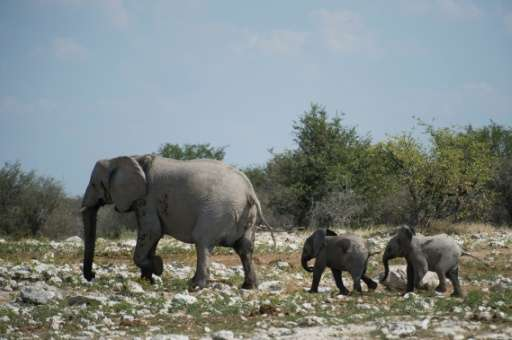Targeted for their tusks, Africa's elephants have been decimated by poaching, with a new study showing the number has fallen by