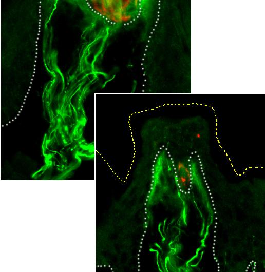 Taste bud maintenance in mice requires Hedgehog signaling