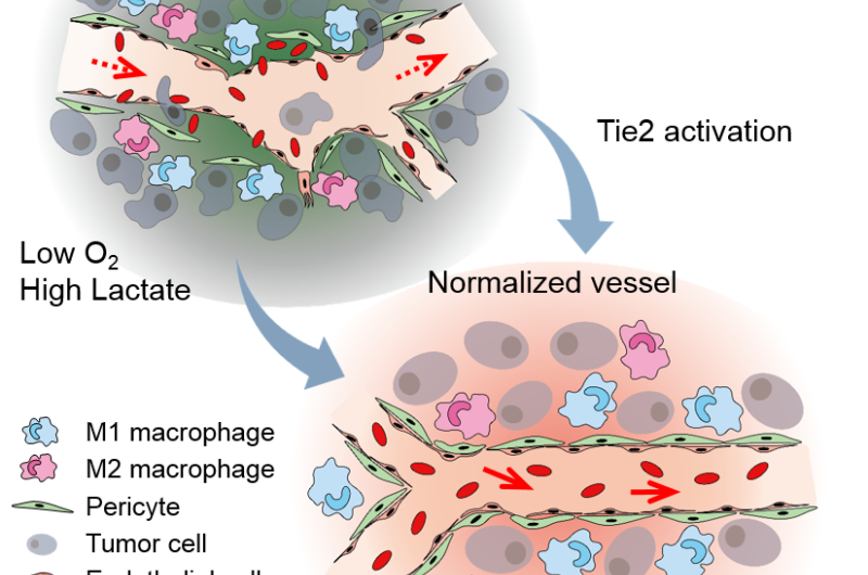 The antibody that normalizes tumor vessels