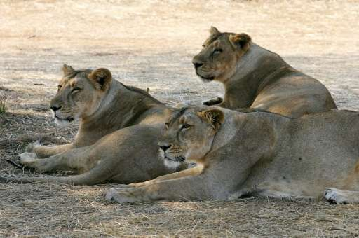 The Asiatic lion was listed as endangered in 2008, up from critically endangered in 2000, after numbers improved in the Gir fore