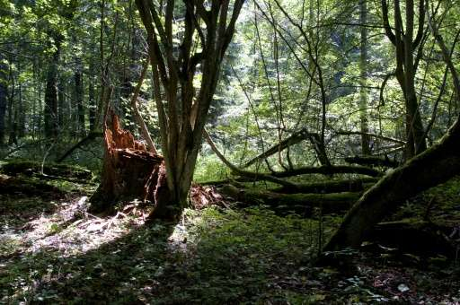 The Bialowieza forest covers some 150,000 hectares (around 370,650 acres) in Poland and Belarus