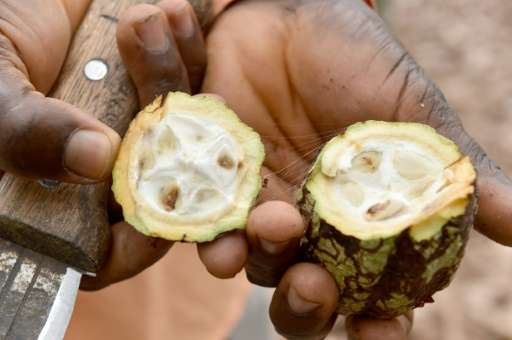 The cocoa industry, which accounts for 15 percent of GDP and more than 50 percent of export receipts as well as two thirds of th