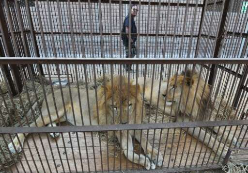 The Colombian circuses gave up the  lions voluntarily but police had to launch raids to free the lions in Peru
