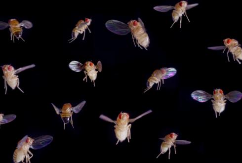 The flight of fruit flies under the microscope