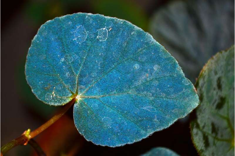 The houseplant with a blueprint for improving energy harvesting