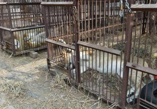 The lions have been rounded up with the help of authorities by Animal Defenders International (ADI), an animal rights charity