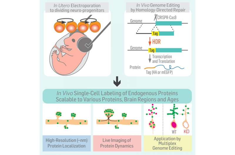 The new SLENDR technique: Protein labeling in the developing brain by genome editing