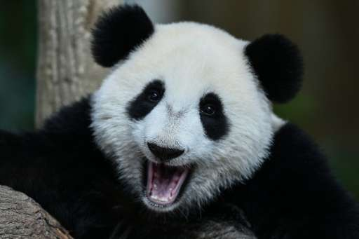 The number of giant pandas in the wild has grown by 16.8 percent over a decade, from 1,596 in 2003 to 1,864 in 2013