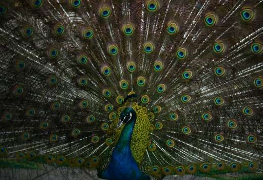 The peacockis India's national bird and is protected under the country's Wildlife Protection Act of 1972