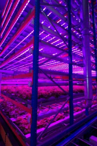 The purple glow is the result of red and blue lamps and is believed to provide the optimal growing conditions