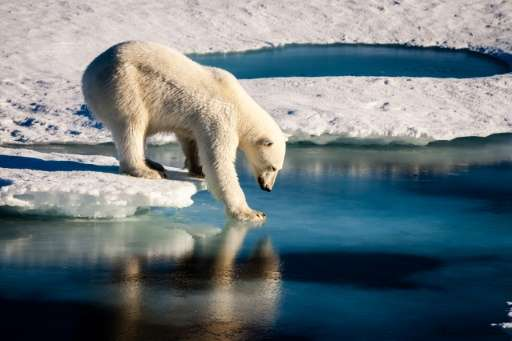 There is a 70% chance that the global polar bear population, estimated at 26,000, will decline by more than 30% over the next 35