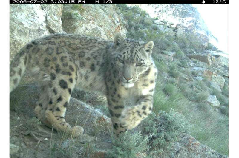 The snow leopard -- world's most mysterious big cat -- may be more common than thought