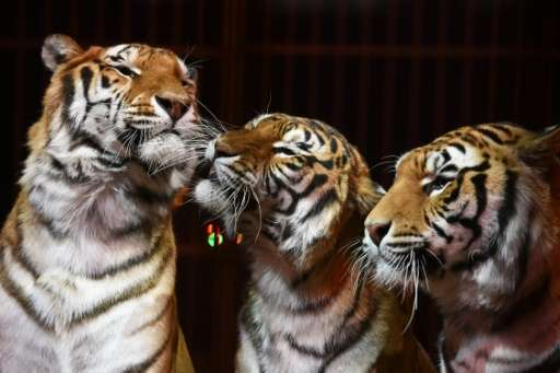The Wildlife Protection Society of India said 28 tigers had been poached by April 26, three more than last year