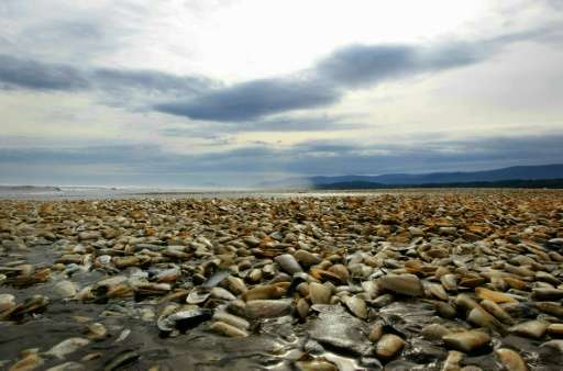 Thousands of dead clams pictured on the shores of Chiloe Island