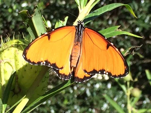 Tiny microbe turns tropical butterfly into male killer, scientists discover
