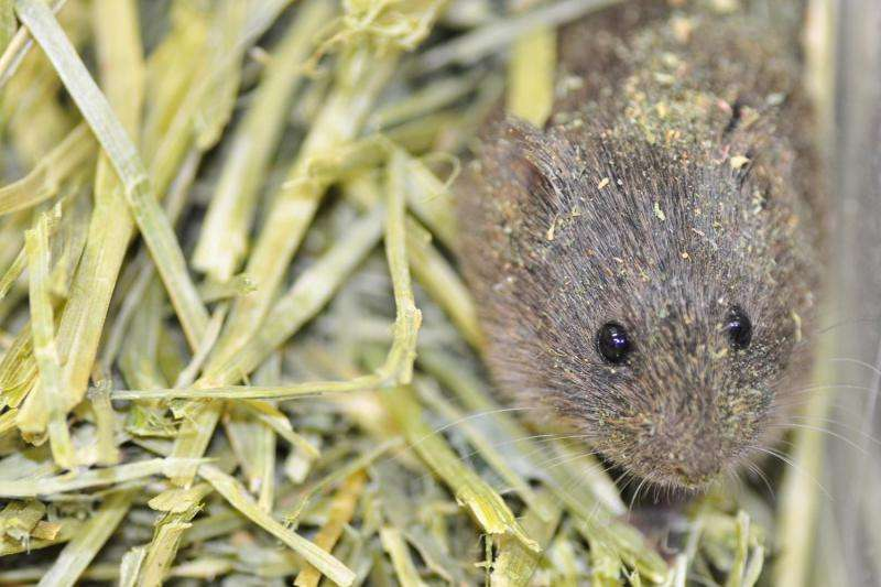 Togetherness relieves stress in Prairie voles