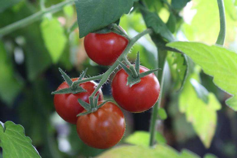 Tomato plants are more resistant against nematodes when colonized by a fungus
