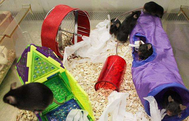Toys and 'enriched' surroundings help fight infection in mice
