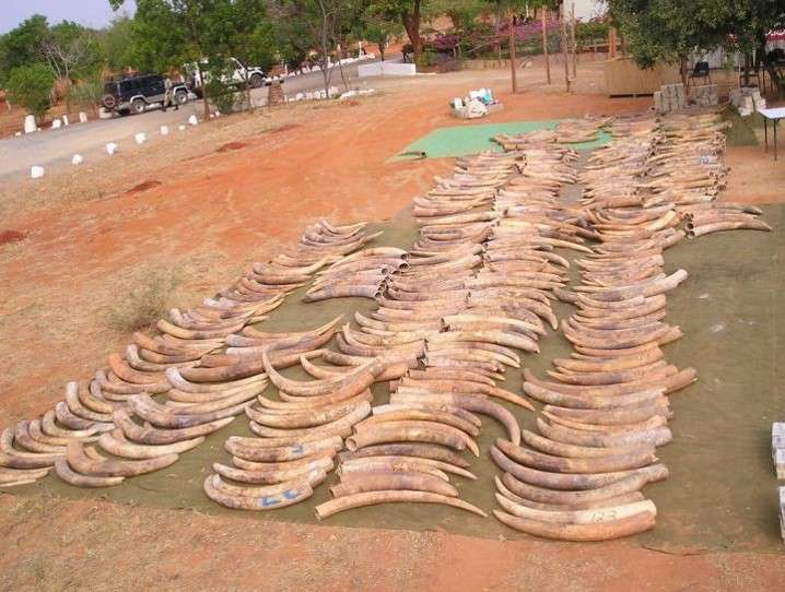 Tracing the ivory trail