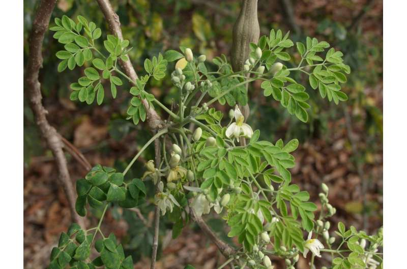 Tropical plant called moringa shows promise in health, anti-aging products