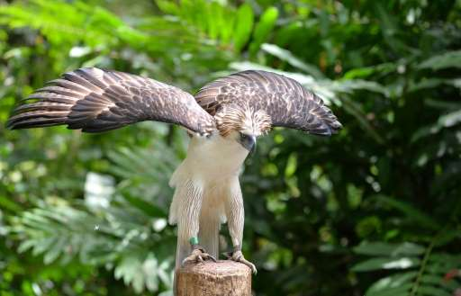Tropical rainforest destruction and relentless hunting have decimated the population of the Philippine eagle