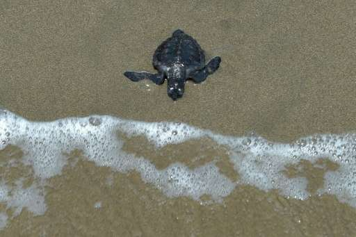 Turtles, which are under threat due to poaching and habitat destruction, are protected under Indonesian law