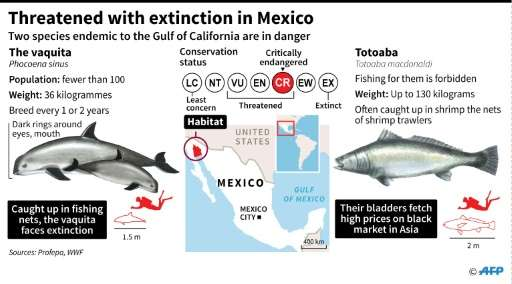Two endangered species in Mexico's Gulf of California