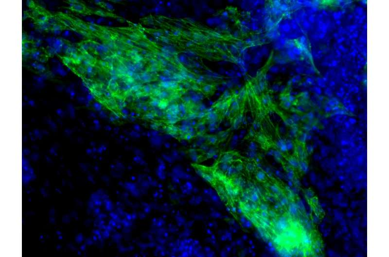 UH researchers are pioneering tools for heart regeneration