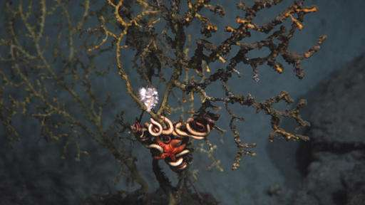 Uncharted waters: Restoring deep Gulf fouled by BP spill