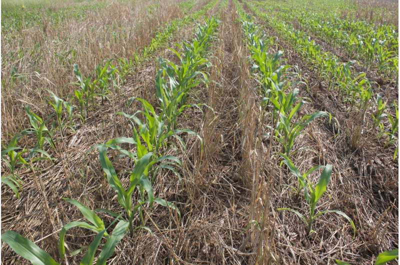 Unfertilized cover crop may reduce nutrient losses from Tennessee fields