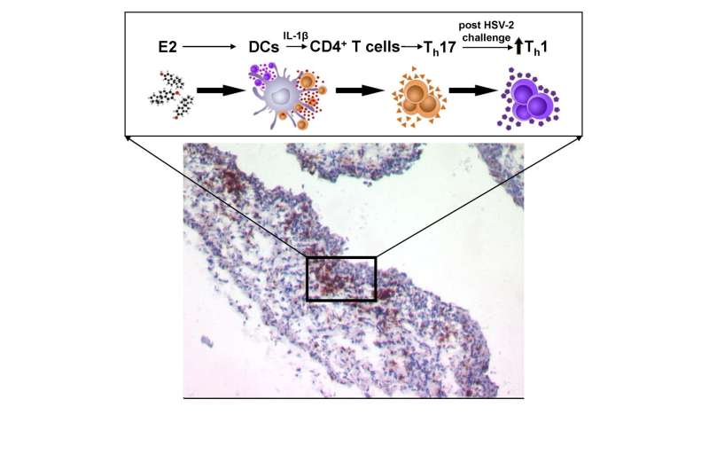 Vaccination under the influence of estradiol increases vaginal antiviral immunity