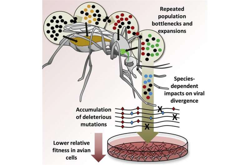 Virus evolution differs by species of mosquito carrier