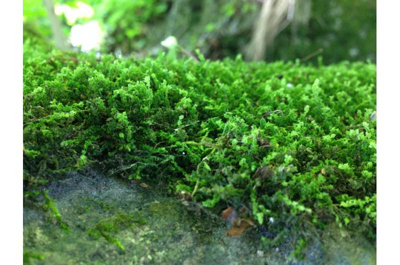 Weathering of rocks by mosses may explain climate effects during the Late Ordovician