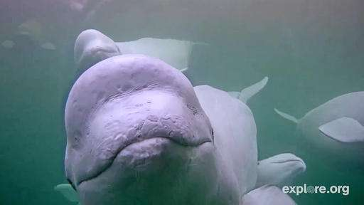Webcam whale research buoyed by viewers around the world