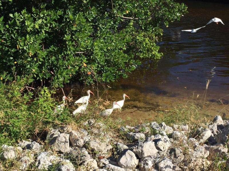 White ibis salmonella shedding increases with urbanization, new UGA study finds