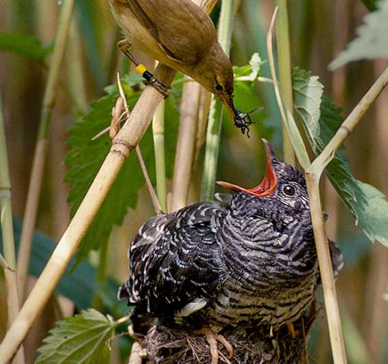 Why some cuckoos lay blue eggs
