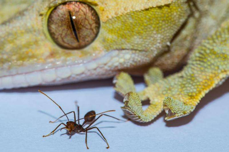 Why Spiderman can't exist: Geckos are 'size limit' for sticking to walls