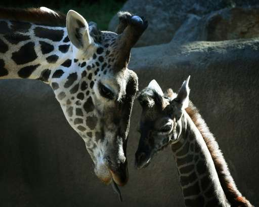 Wild giraffe numbers have plummeted by 40 percent in the past three decades