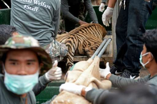 Wildlife officials load an anaesthetised tiger onto a truck after they removed it from an enclosure at the Wat Pha Luang Ta Bua