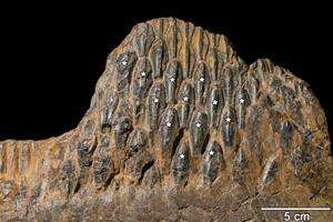 With 300 teeth, duck-billed dinosaurs would have been dentist's dream
