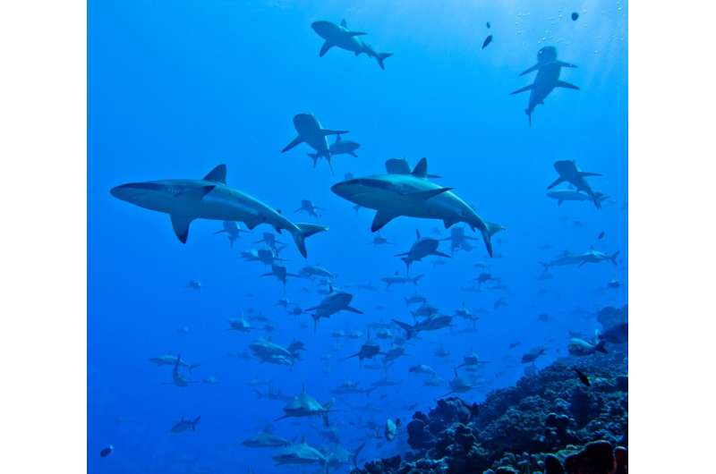 With too little to eat, 'massive number' of reef sharks depend on delivery