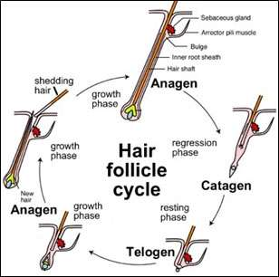 Wnt signalling shown to play critical role in hair follicle stem cell maintenance
