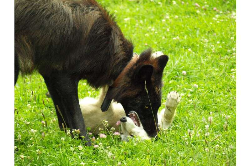 Wolf pups more likely to play on equal terms with similarly aged partners