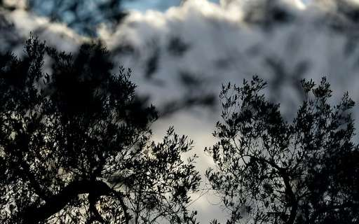 Xylella fastidiosa, a deadly bacterial pathogen that has no known cure, began infesting olive trees in Salento at the end of 201