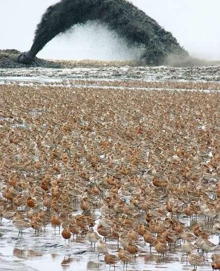 Yellow Sea a narrowing bottleneck for migratory birds